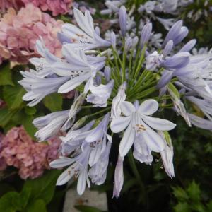 薄紫のアガパンサス(紫君子蘭)の花