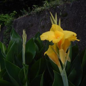 黄やオレンジのカンナの花が咲いています