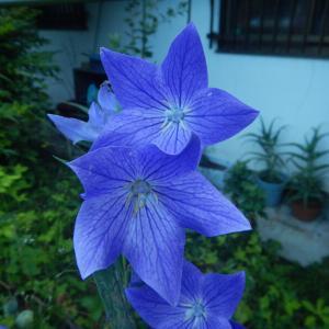 秋の七種(ナナクサ)、キキョウ(桔梗)の花