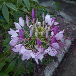 セイヨウフウチョウソウ(西洋風蝶草、別名クレオメ)の花が咲きました