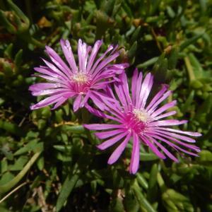 マツバギク(松葉菊)のピンクの花
