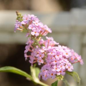 フサフジウツギ(房藤空木)の紫の花