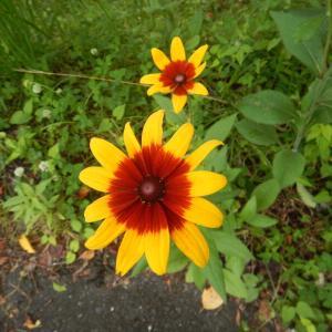 アラゲハンゴンソウ(荒毛反魂草、別名:ルドベキア)の黄色い花