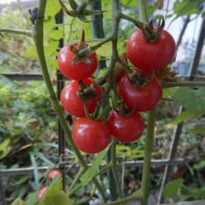 7月の野菜、ミニトマト、ミョウガ(茗荷)、オクラ(秋葵)収穫中