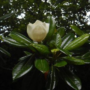 タイサンボク(泰山木、大山木)に咲く白く大きな花