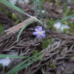 ヒメヤブラン(姫藪蘭)の紫の花