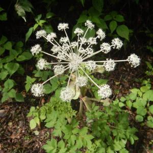 シシウド(猪独活)の白い花