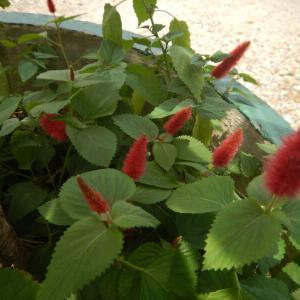 キャッツテールの赤い花