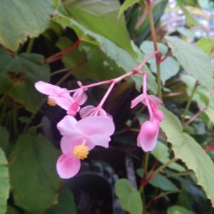 シュウカイドウ(秋海堂)のピンクの花