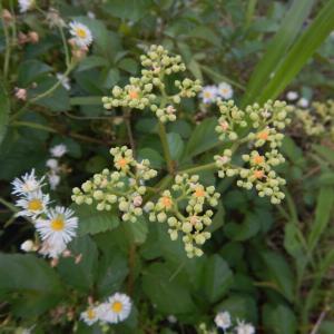 色がきれいな、ヤブガラシ(藪枯)の花