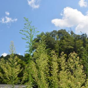 オオアレチノギク(大荒地野菊)に花と綿毛がついています