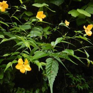 8月に咲いたヤマブキ(山吹)の花