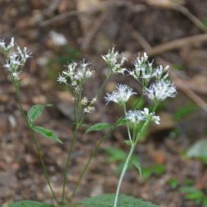 ヒヨドリバナ(鵯花)の白い花