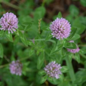 ムラサキツメクサ(紫詰草、)の花や葉、シロツメクサ(白詰草)との違い