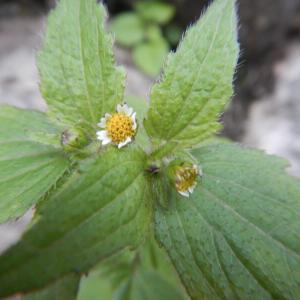ハキダメギク(掃溜菊)の白い花