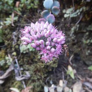 多肉質のミセバヤに、ピンクの花が咲いています