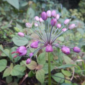 ラッキョウ(辣韮)の紫いろの花