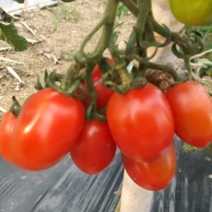 第1畑今日の収穫