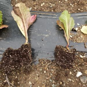 カリオカ定植とカルガナス初収穫