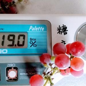 鉢植え葡萄初収穫❗️