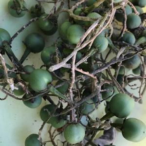 茄子の台木「トルバムビガー」