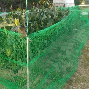 トウモロコシに防鳥ネット