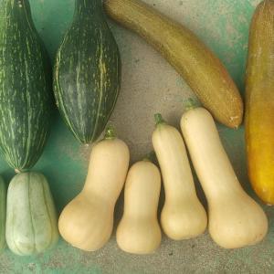 ロロン、バターナッツ、赤毛ウリ、マクワウリ収穫