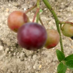 パウダーブルー初収穫