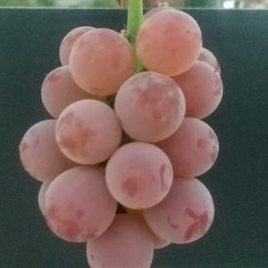 葡萄に色が付き始めました