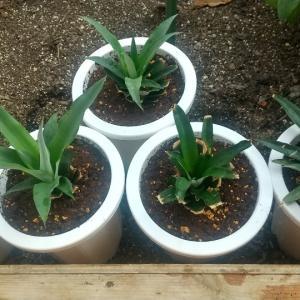 パイナップル栽培その1