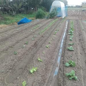 台風通過後の第1畑