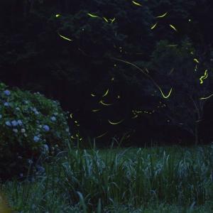 笠間にある蛍スポットへまた行ってきたんだが、九輪草は終わっていたみたい。