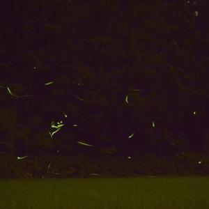 城里町の蛍を見に行ったら、けっこう飛んでいた。