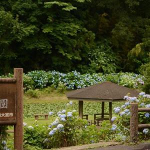 常陸大宮の紫陽花を見に行ったつもりが...え?!これって蛍ですか?っていう状況になった。