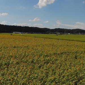 過去の話part16 栃木県益子町ひまわり祭りに行ってみた写真を振り返った。