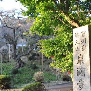 泉福寺のシダレザクラを下見しに行ってみた(道の駅さとみ・かかし祭り)
