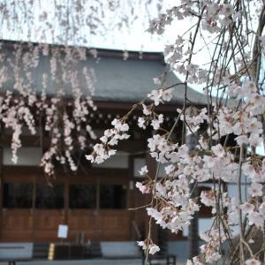 那珂市の蒼龍寺枝垂桜が見事だった