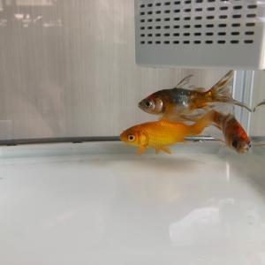 戸惑う金魚達。