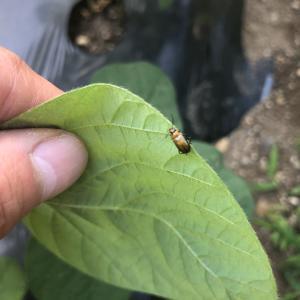 クロウリハムシの駆除・防除・対策!きゅうりの葉に穴開いていない?