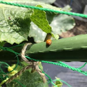 テントウムシダマシを自然農薬で駆除・予防!畑では悪いテントウムシ!