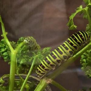 キアゲハの幼虫の被害はパセリ・ニンジンに多い!対策と予防法紹介!