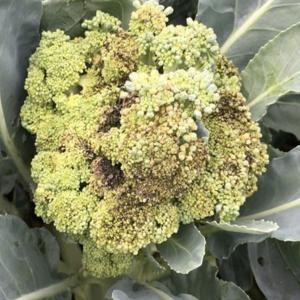 軟腐病はトマトやキャベツに対策が必要?おすすめ農薬と土壌消毒の仕方!