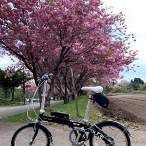 DAHON routeで遅咲きの桜を見に行った
