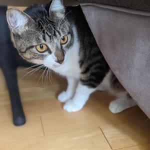 超絶人見知り猫ちゃんのシッティング