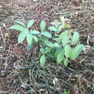 ブルーベリー苗を植えました。