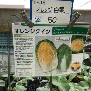 白菜の購入苗の定植と白菜、春菊の播種