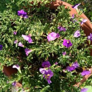 カリブラコアお花いっぱい計画 その3