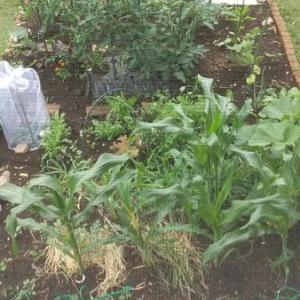 【密です!】家庭菜園、今年は多品種栽培 合計〇〇品種で頑張ります。