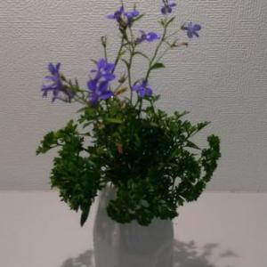 【花のある暮らし】ロベリアとパセリを飾ってみた。