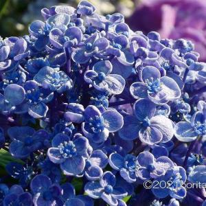 紫陽花  (近所の散歩で見かけた花たち)